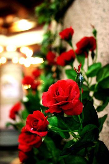 Red Flower Focus On Foreground No People Fragility Christmas Close-up Growth Nature Outdoors Flower Head Beauty In Nature Day Freshness I Want To Know Your Secret, C I Always Thinking About U, G Thank You,❤️ Thankyou 감사합니다
