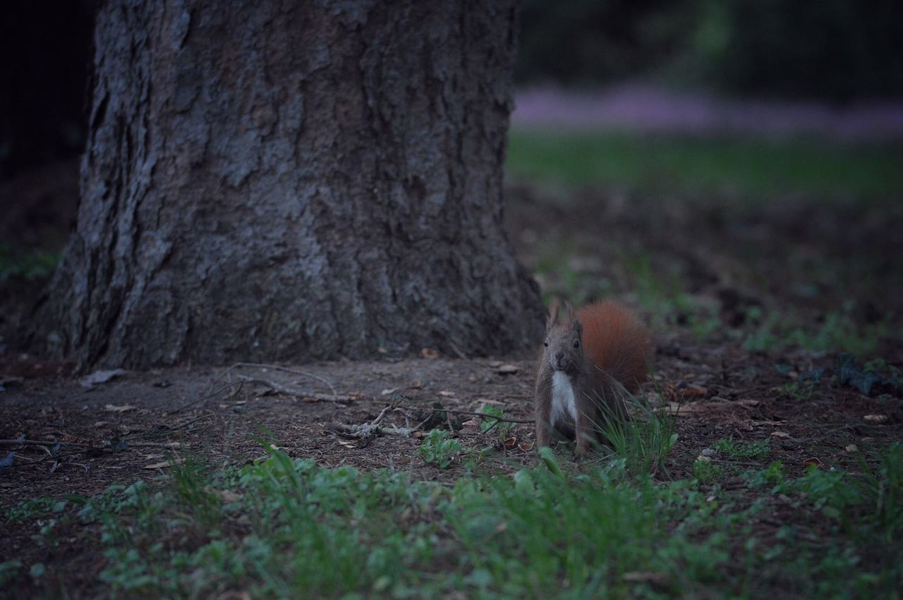 Squirrel By Tree On Field
