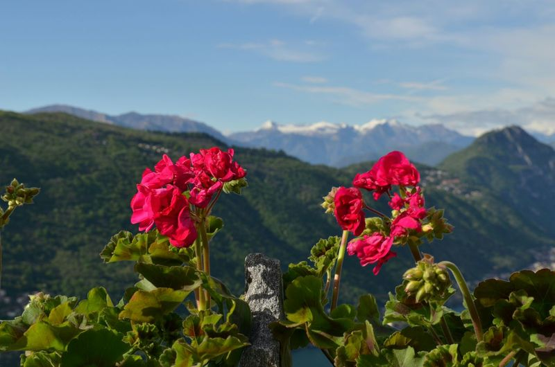 Close-Up Of Red Flowers Blooming Against Mountains