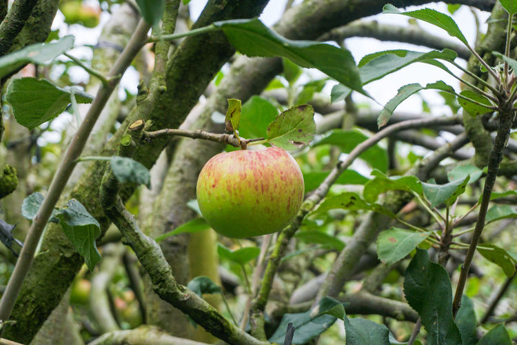 Fresh apples Healthy Eating Fruit Food Food And Drink Plant Freshness Tree Growth Wellbeing Focus On Foreground Close-up Leaf Branch Plant Part Nature No People Day Apple - Fruit Green Color Apple Tree Outdoors Ripe Batu Apple