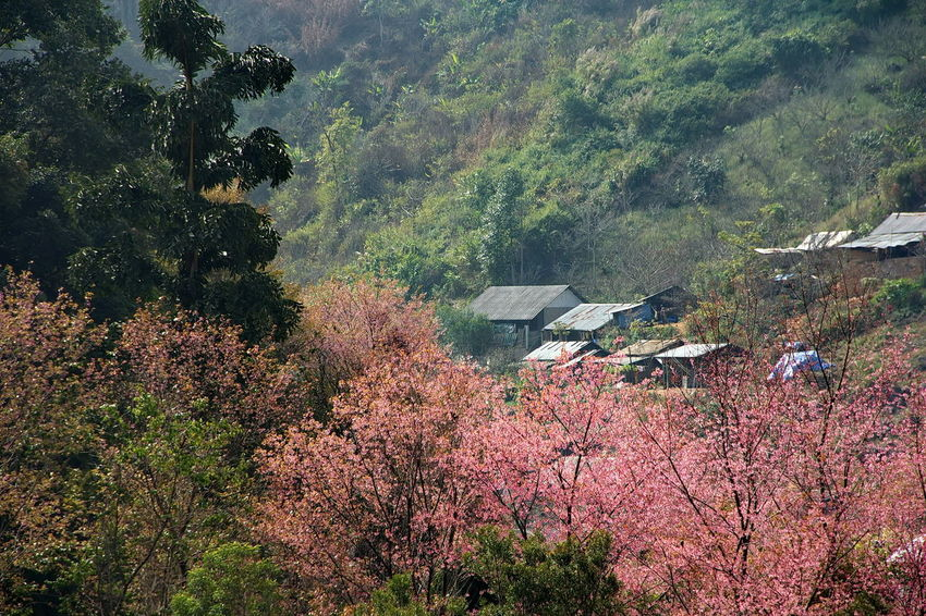 Pink Flowers Landscape In Thailand. Beauty In Nature Day Flower Foreground Forest Freshness Growth Huts Landscape Mountain Nature Outdoors Pink Flowers Plant Scenics Tree