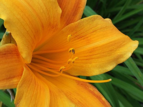 Blazing Flower of Gold III Gold Flower Flower Flowers Flower Of Gold Lily Lily Flower Flowerporn Flower Collection Flowers,Plants & Garden Flower Porn Elysium Flowers, Nature And Beauty Flower Photography Flowerlovers Flowers_collection Macro Photography Macro Beauty Macro Macro_flower Orange Golden Colours Colorful Bloom Natural Beauty