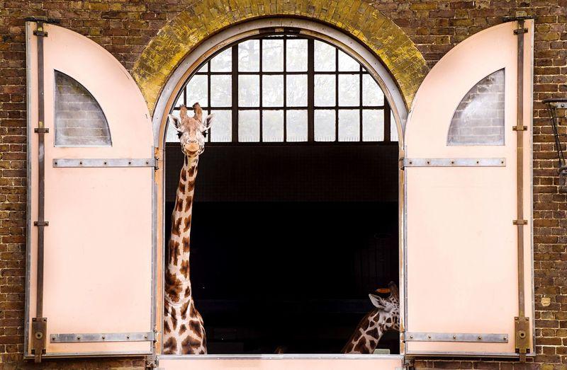 Portrait of giraffe looking through window