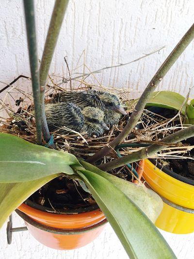 Pigeon Nest Nest Nesting Pigeon Bird Animal Nest Bird Nest Nestling Nestlings Pigeon Nestling Adapted To The City