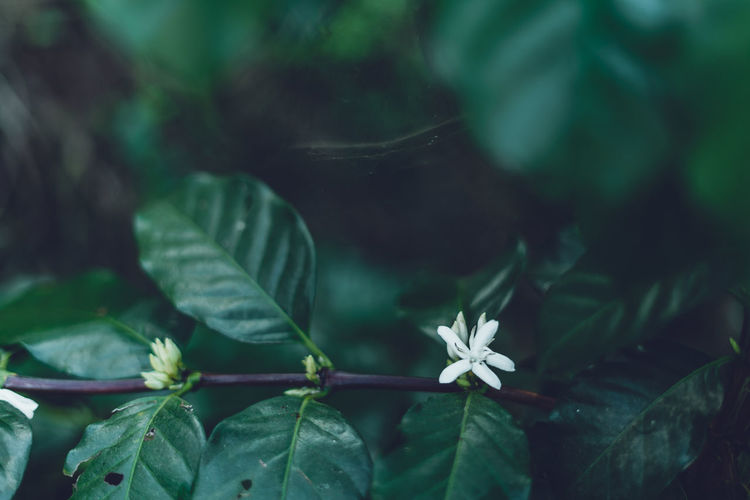 Coffee flower And dark coffee leaves Leaf Plant Part Plant Growth Beauty In Nature Close-up Freshness Flower Green Color Flowering Plant Nature Selective Focus No People Fragility Vulnerability  Day Outdoors Focus On Foreground Petal Plant Stem Flower Head Leaves