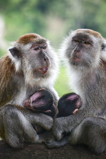 Two mother monkey with her babies