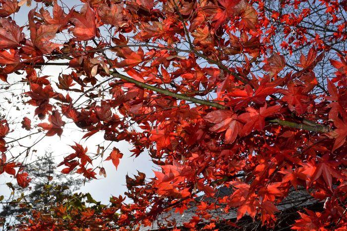 Autumn Iwate Nature No People Outdoors Red Tohno(遠野) Tree 岩手 秋 紅葉 赤