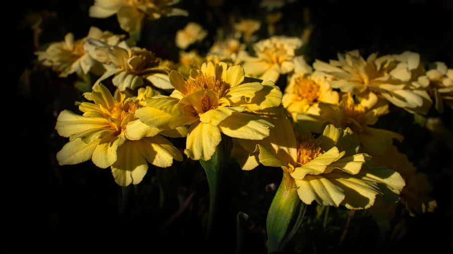 Close-up of yellow flowering plants against black background