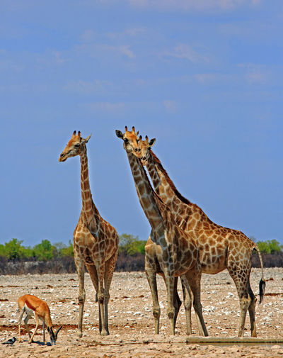 Giraffes and springbok on landscape against clear sky