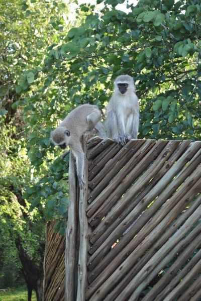 Monkey Marloth Park (Sa) Nature