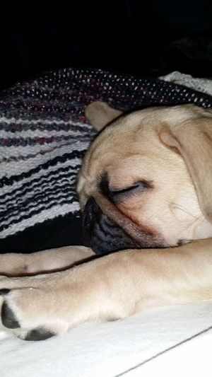 My boy King knocked out Pug Love