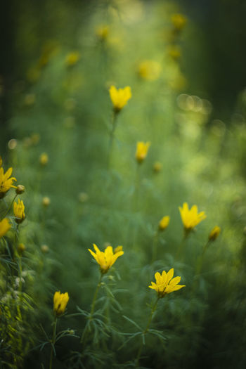 Russian Lens Helios 44-2 58mm/2 Bokeh Garden Green And Yellow Meadow Helios 44-2 58mm F2 Meadow Nature Orchard Summertime Yellow Flowers