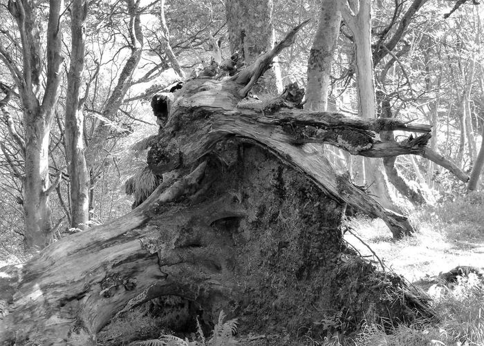 Monochrome Photography First Eyeem Photo dragon roots Tree Trunk Island Life Nature Photography