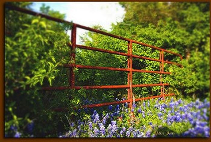 Red Gate in Bluebonnets Red Blue Gate Fence Bluebonnets Blue Flowers Wildflowers Countryside Ennis Ennis, Texas Spring Flowers Spring Springtime Texas Eye4photography  EyeEm Nature Lover EyeEm Gallery Spring Landscape Tadaa Community