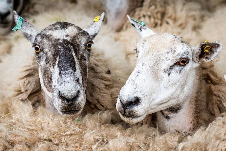 Flock of Scottish Sheep Farm Livestock Rural Animal Animal Head  Animals Countryside Domestic Farming Group Of Animals Livestock Mammal No People Rural Life Sheep Sheep Farm Sheep Farming Sheeps Wool