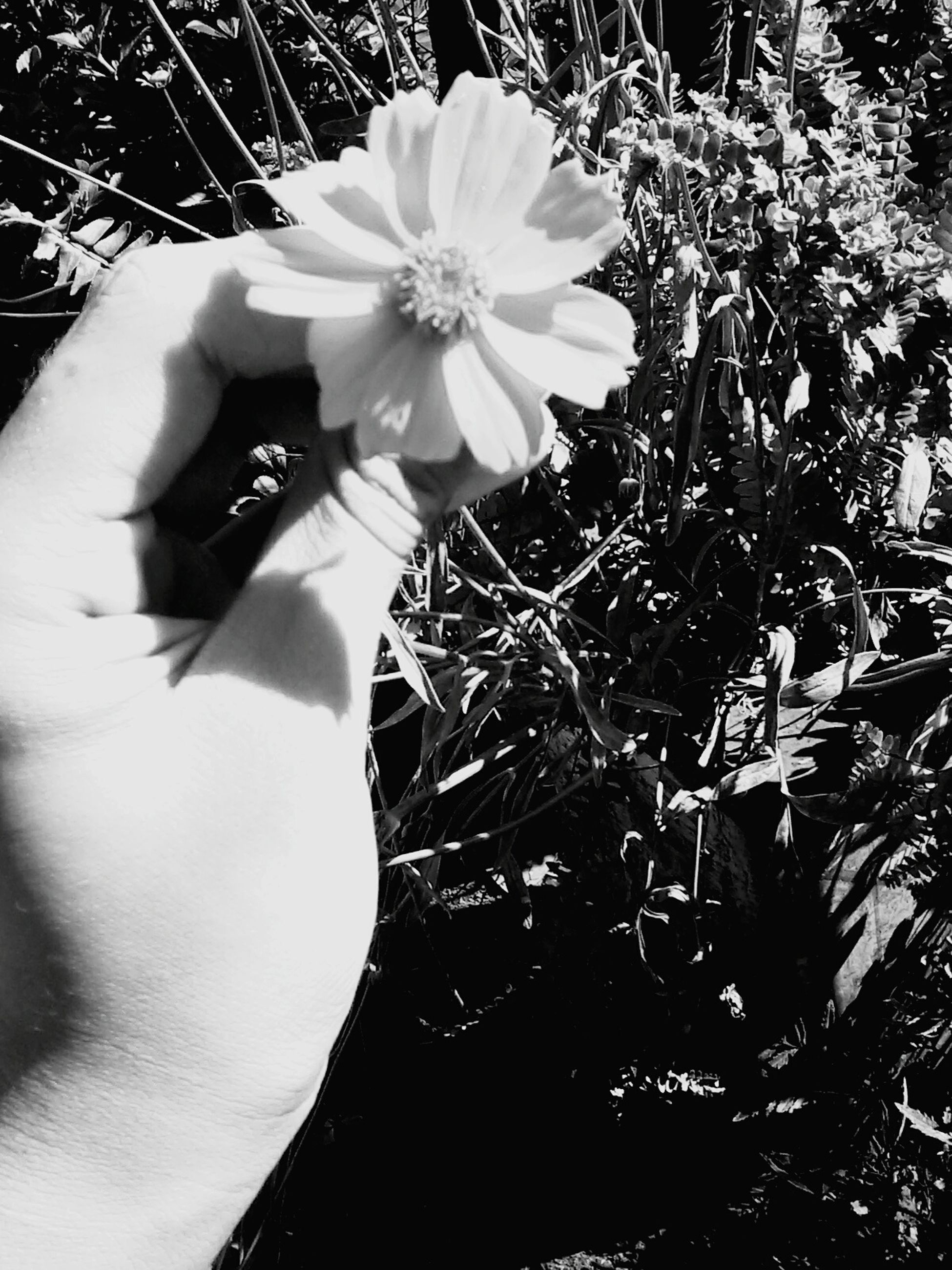 flower, human hand, one person, holding, sunlight, real people, fragility, outdoors, flower head, freshness, human body part, lifestyles, plant, day, close-up, nature, beauty in nature