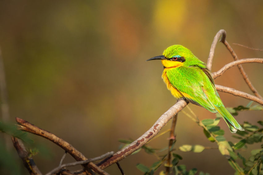 Bee eater Animals In The Wild Nature Animal Animal Themes Animal Wildlife Animals In The Wild Beak Beauty In Nature Bird Branch Close-up Day Focus On Foreground Green Color Nature Nature_collection No People One Animal Outdoors Perching Plant Tree Vertebrate