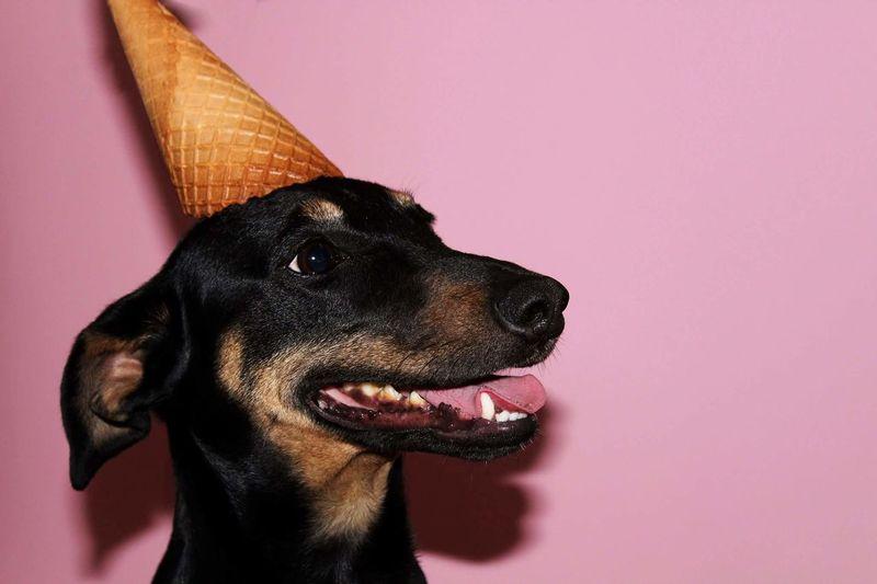 Dog Pets Animal Body Part Studio Shot Pink Color Animal Head