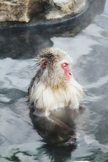 Close-up of japanese macaque in hot spring lake
