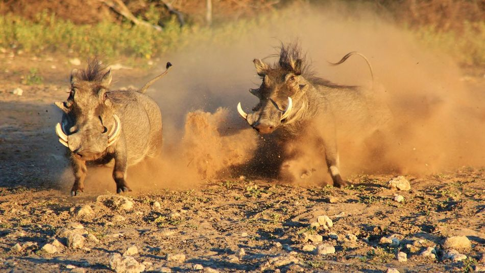 A pair of Warthog boars fight it out over territorial rights, as seen in the wilds of Namibia, southwestern Africa. Dominate EyeEmNewHere Fight Nature Action Anger Animal Animal Themes Animal Wildlife Animals In The Wild Blurred Motion Boar Chase Day Display Instinct Mammal Nature Outdoors Park Protected Safari Animals Territorial Tusks Warthog