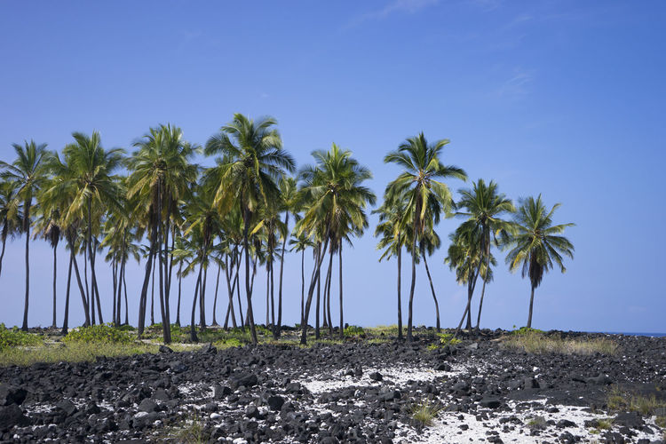 Palm Trees in Hawaii Beach Beauty In Nature Blue Clear Sky Copy Space Day Growth Hawaii Landscape Nature Palm Tree Rock Sand Scenics Sea Shore Sky Tranquil Scene Tranquility Tree Tree Trunk Water