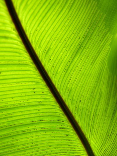 Bird's-nest fern、 Nest fern Bird's-nest Fern Nest Fern Aleq Backgrounds Banana Leaf Beauty In Nature Close-up Day Full Frame Green Color Growth Leaf Leaf Vein Leaves Natural Pattern Nature No People Outdoors Palm Leaf Palm Tree Pattern Plant Plant Part Textured  Vulnerability