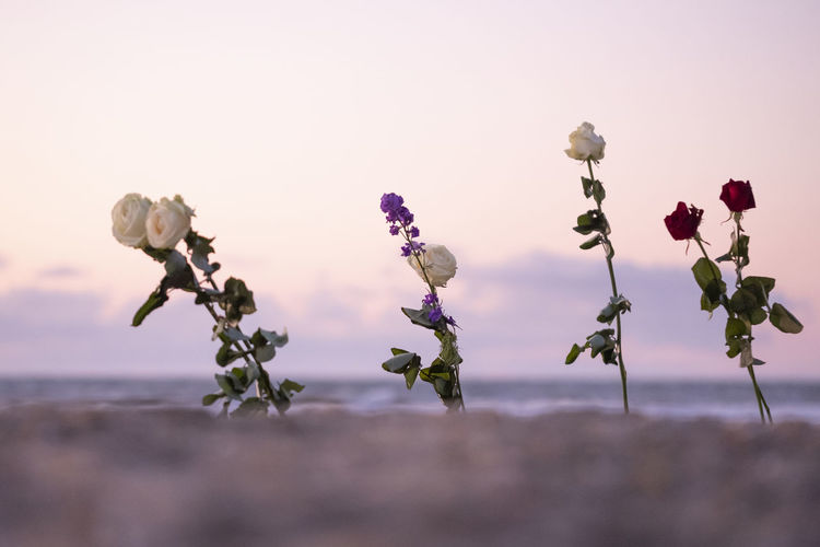 Funeral flower,  rose flower at the beach, copy space, .funeral symbol and condolence card concept.