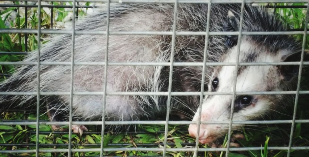 nuisance vermit, no, he was not hurt .Just relocated far away! Oppossum Louisiana Trap Full Daylight Fur Animal Wildlife Cage Young Animal Close-up Livestock Animal Pen Rodent