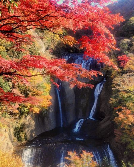 Autumn Leaves Autumn Change Leaf Nature Tree Beauty In Nature Tranquil Scene Scenics Forest Tranquility Day Outdoors Maple Tree Maple Leaf Waterfall Low Angle View Water Japan Japan Photography 袋田の滝 Fukurodafalls 日本三大瀑布 EyeEmNewHere MyfirstEyemphoto