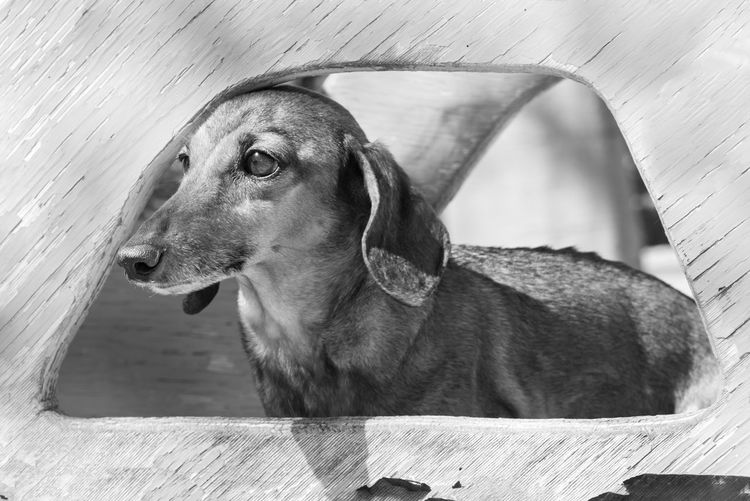 Beautiful brown dachshund at the park in a sunny day. Black and white edition One Animal Pets Domestic Animals Mammal Dog Canine Vertebrate Day Dauchshund Beautiful Animal Park Sunny Toboggan Portrait Nature Background Wallpaper Copy Space Pedigree Breed Fun Domestic Standard Beauty No People Urban Life Fur Cute Outdoors