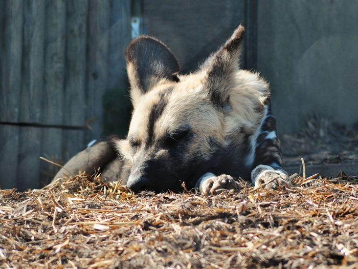 Close-up of hyena sleeping at zoo