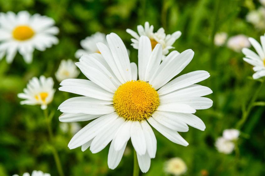 Oxeye Daisy Oxeye Daisy Flower Oxeye Daisy Flowers White Flower White Flowers