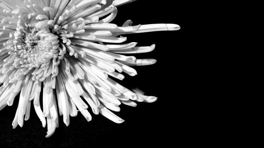 blooming Chrysanthemum Beautiful Filigran EyeEm Best Shots EyeEm Nature Lover EyeEm Best Shots - Black + White EyeEm Masterclass Black Background Flower Head Flower Studio Shot Petal Close-up Botany In Bloom Focus Blooming