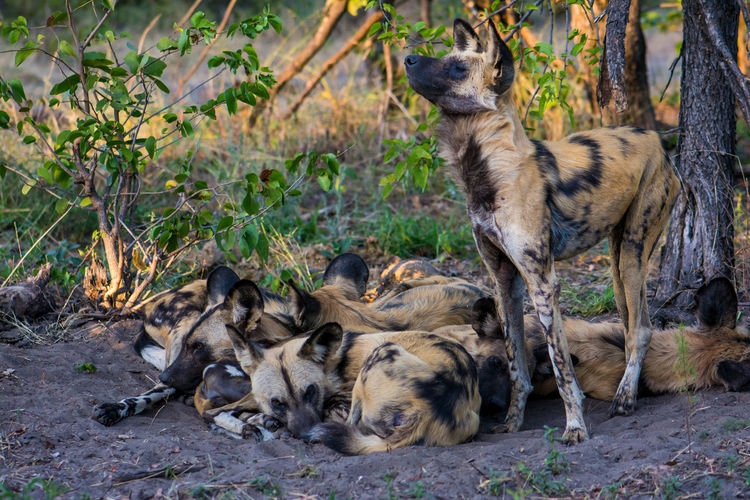 African Wild Dogs On Dirt