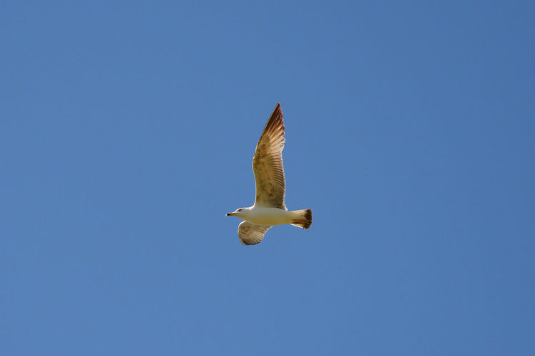 Animal Animal Themes Animal Wildlife Animals In The Wild Bird Blue Clear Sky Day Flying Mid-air Motion Nature One Animal Outdoors Seagull Sky Spread Wings