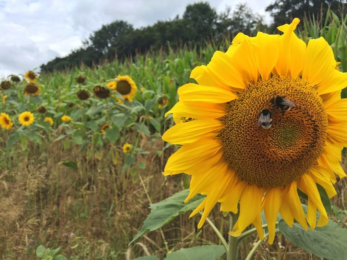 Sunflower Sunflowers🌻 Cloudy Nature Plants Enjoying Life Sand Walking Grafenwald Taking Photos Bumblebee