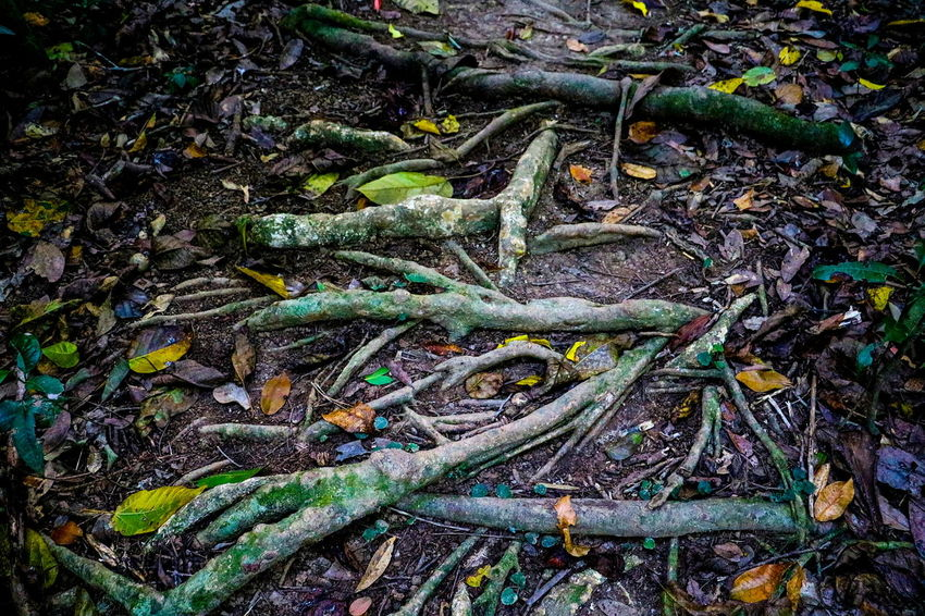 Forestground Nature Rainforest Australia Rainforest Walks Root Roots Roots Of Tree Roots On The Ground