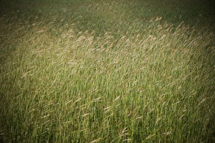 Plant Backgrounds Grass Green Color Full Frame Field Land Nature Growth No People Landscape Beauty In Nature Agriculture Day Tranquility Environment Rural Scene Outdoors Farm Crop