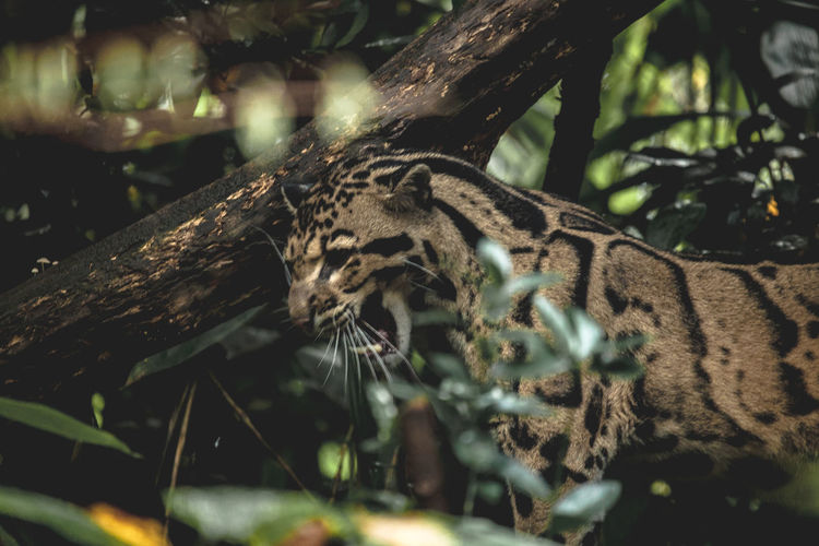 Ocelot Bigcat Bigcatphotography Wildlife Wildlife Photography Nature Rainforest Intothewild