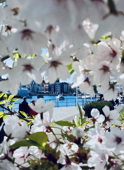 Cherry blossoms in city