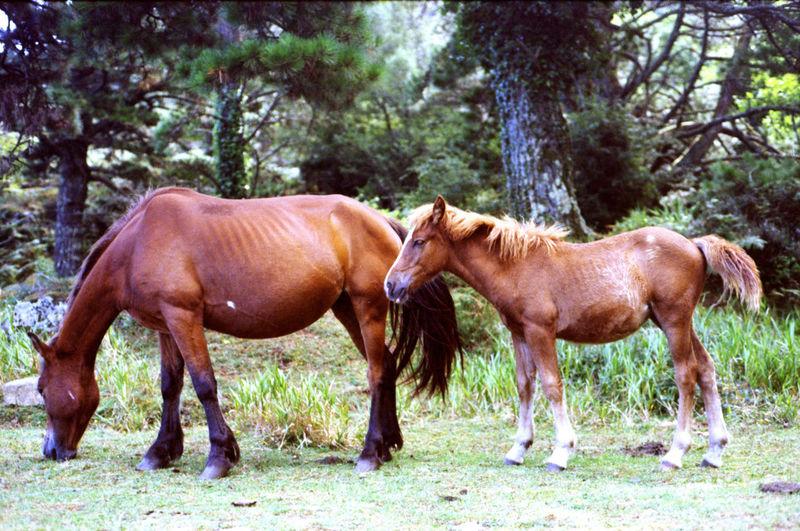 Animal Animal Themes Brown Field Horses Livestock Nature Pony Wild Horses Woods