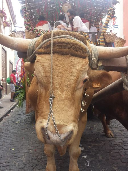 Oxen Animals Tenerife Garachico Parade Romeria Eyeemphoto Transportation Transport My Year My View
