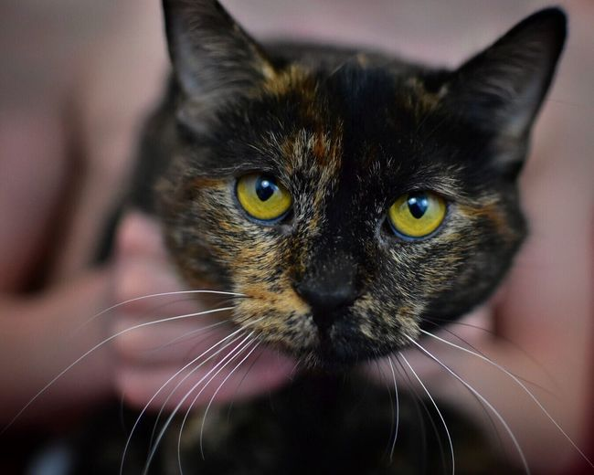 Help! I'm being held against my will 😉 Domestic Cat Pets Domestic Animals One Animal Animal Themes Whisker Feline Mammal Looking At Camera Focus On Foreground Portrait Close-up Indoors  No People Yellow Eyes Animal Eye Day Cats Nose Cats Of EyeEm Pet Photography  Pets Corner Studio Shot Whiskers Cat