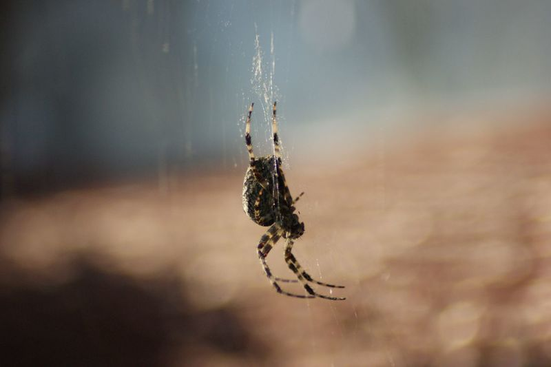 Close-up of spider hanging on web