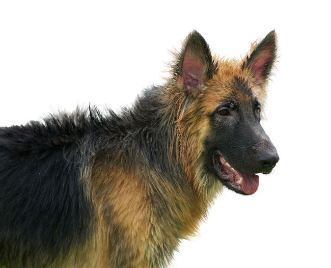 Close-up of dog over white background