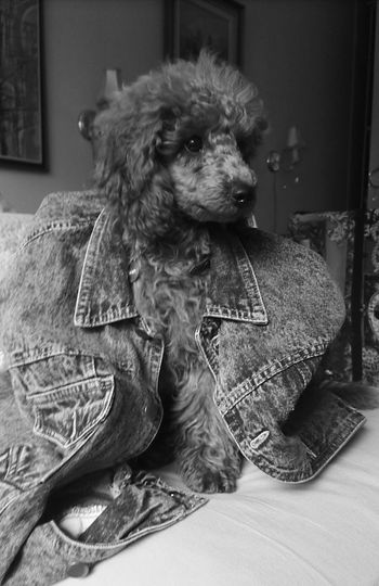 Afla puppy dog in retro jean jacket Poodle Pets Of Eyeem Blackandwhite Modeldog  Jean Jacket The Week On EyeEm