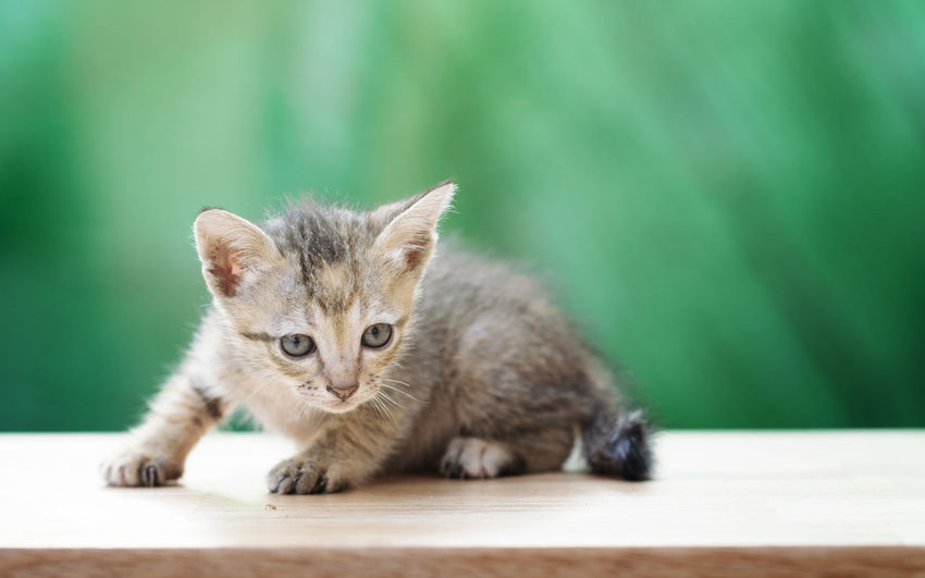 Tiny kitten looking at camera Animal Themes One Animal Cat Mammal Domestic Cat Animal Feline Domestic Pets Domestic Animals No People Kitten Vertebrate Young Animal Table Whisker Wood - Material Portrait Focus On Foreground Animal Eye