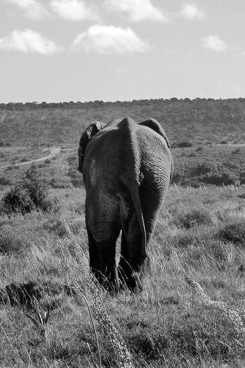 Rear view of elephant walking on field