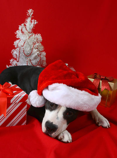 Close-up of dog wearing santa hat against red wall
