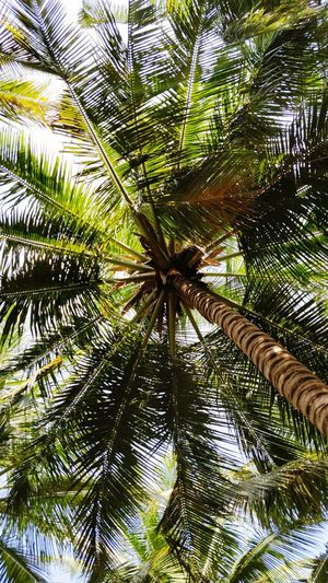 coconut tree view Coconut Trees Downview Roundshape Roundshapestree Palm Tree Growth Tree Nature Full Frame Day Low Angle View